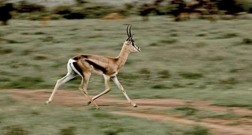 Grant's gazelle on the run