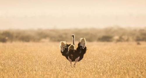 Ostrich on the Mugie planes