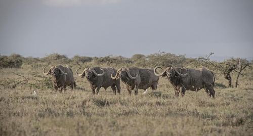 A group of Mugie's majestic buffalo