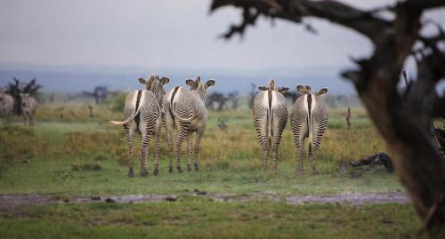 A herd of Berchell's zebras