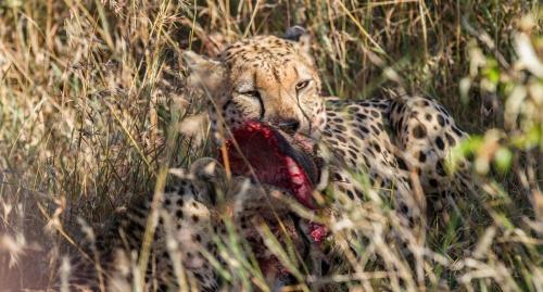 Zuri, the cheetah, mid-feast
