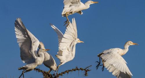 A flock of egrets takes flight