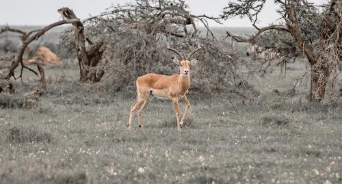 Male impala at a stand still