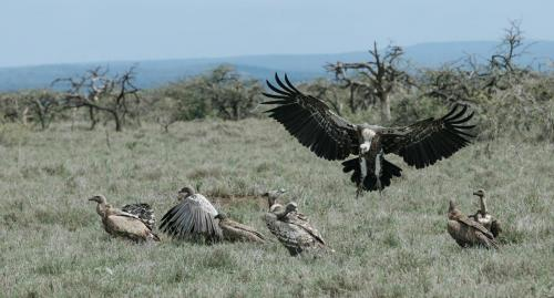 Vultures flock to a carcass