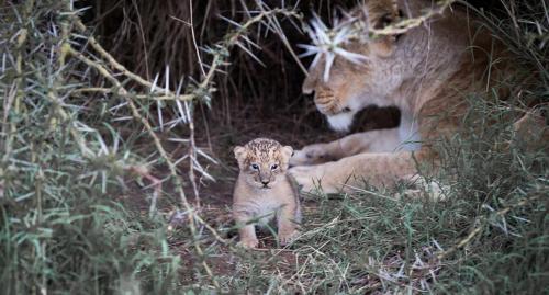 A newborn lion cub peeks out of his den