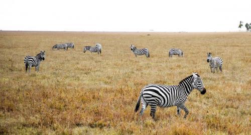 Herd of Berchell's zebra
