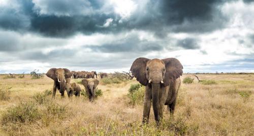Elephants before the rains
