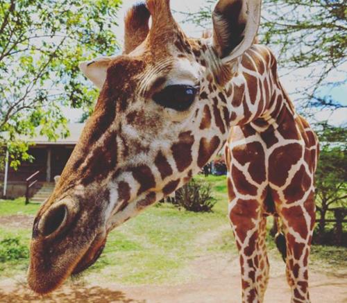 Tala, Mugie's resident giraffe at the Mugie head office