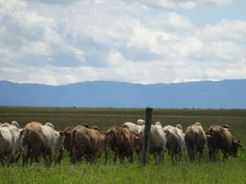 Mugie Trading Stock cattle