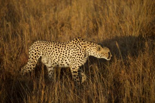 Amaka, one of the cheetah brothers