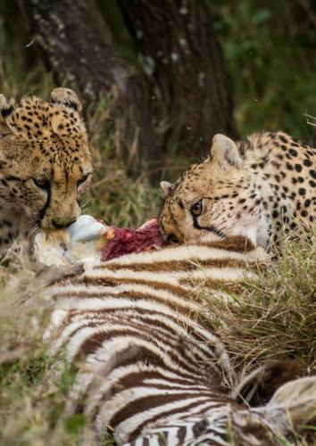 Zuri and Amaka share a zebra feast