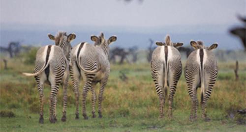 A small herd of Grevy's zebra